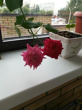 Добрый вечер!как укоренить свежую ветку розы дома?